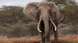 Why Elephant Poaching Is
