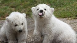 55 Reasons Why These Twin Polar Bear Cubs Deserve All Your