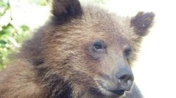 Orphan Grizzly Saved From Starvation Helps B.C.