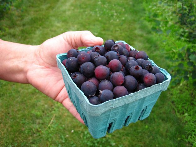 Saskatoon Berry Or Juneberry? A Super-Food War Is Brewing Between Canada And The