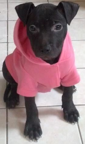 Puppy Stolen! Toronto Police Are Looking For Help Finding This Pilfered