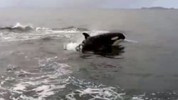 WATCH: Killer Whales Attack Sea