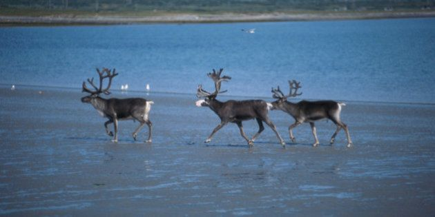 Alberta Caribou Land Will Go Up For Sale, Says