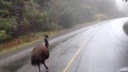 Runaway Emu Back Home