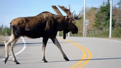 Baby Moose Born After Mother Hit By