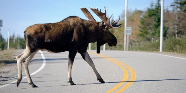 Baby Moose Survives After Being Expelled By Mother Hit By