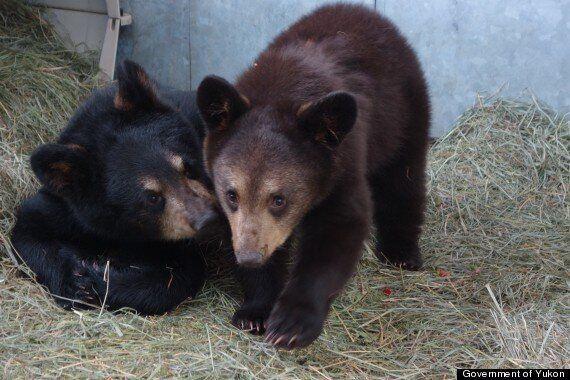 Orphaned Yukon Bear Cubs Get Second Chance At Calgary