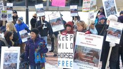 Outrage Over Wild Horse