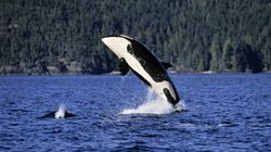 West Coast Orcas Endangered By Triple Threat: