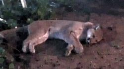 Lurking Cougar Killed In Port
