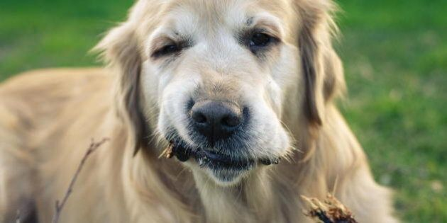 A 10 year old Golden Retriever has a Chinese name 旺财 which has a meaning