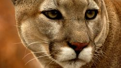 Things Don't End Well For Cougars Feasting On