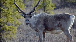 Deal To Protect Caribou 'Doing Absolutely Nothing':