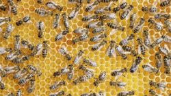 THOUSANDS Of Bees Removed From Kitchener
