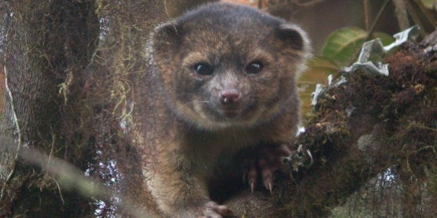 UNSPECIFIED - UNDATED: In this handout photo provided by Smithsonian, an olinguito, a new species of Carnivore which has been newly discovered, is seen in an undated photo. The olinguito (Bassaricyon neblina) had been mistakenly identified for more than 100 years and is also the first carnivore species to be discovered in the American continents in 35 years.  (Photo by Mark Gurney for Smithsonian via Getty Images)