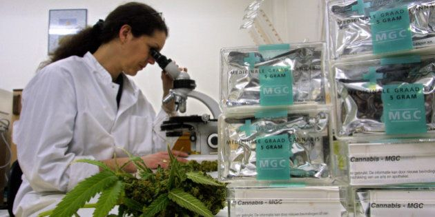 401161 02: An assistant studies marijuana/cannabis leaves in the Maripharma Laboratory February 15, 2002...