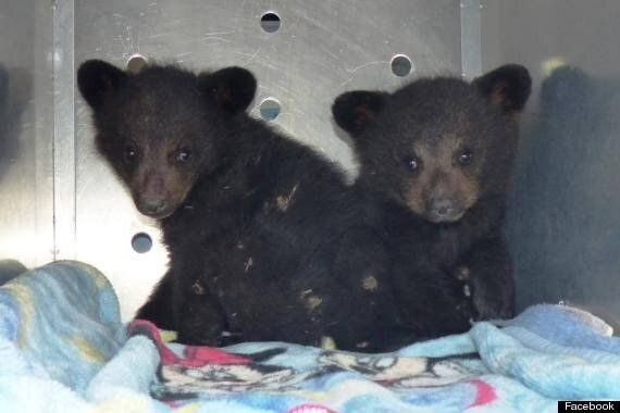 Strangers Band Together To Save Orphan Bear Cubs In