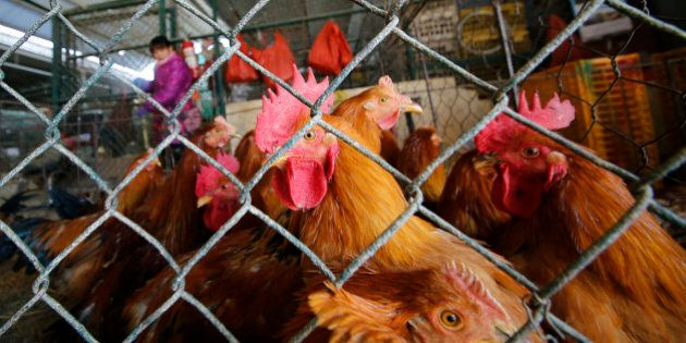 In this Tuesday, Jan. 21, 2014 photo, live chickens are kept in a cage at a wholesale poultry market...