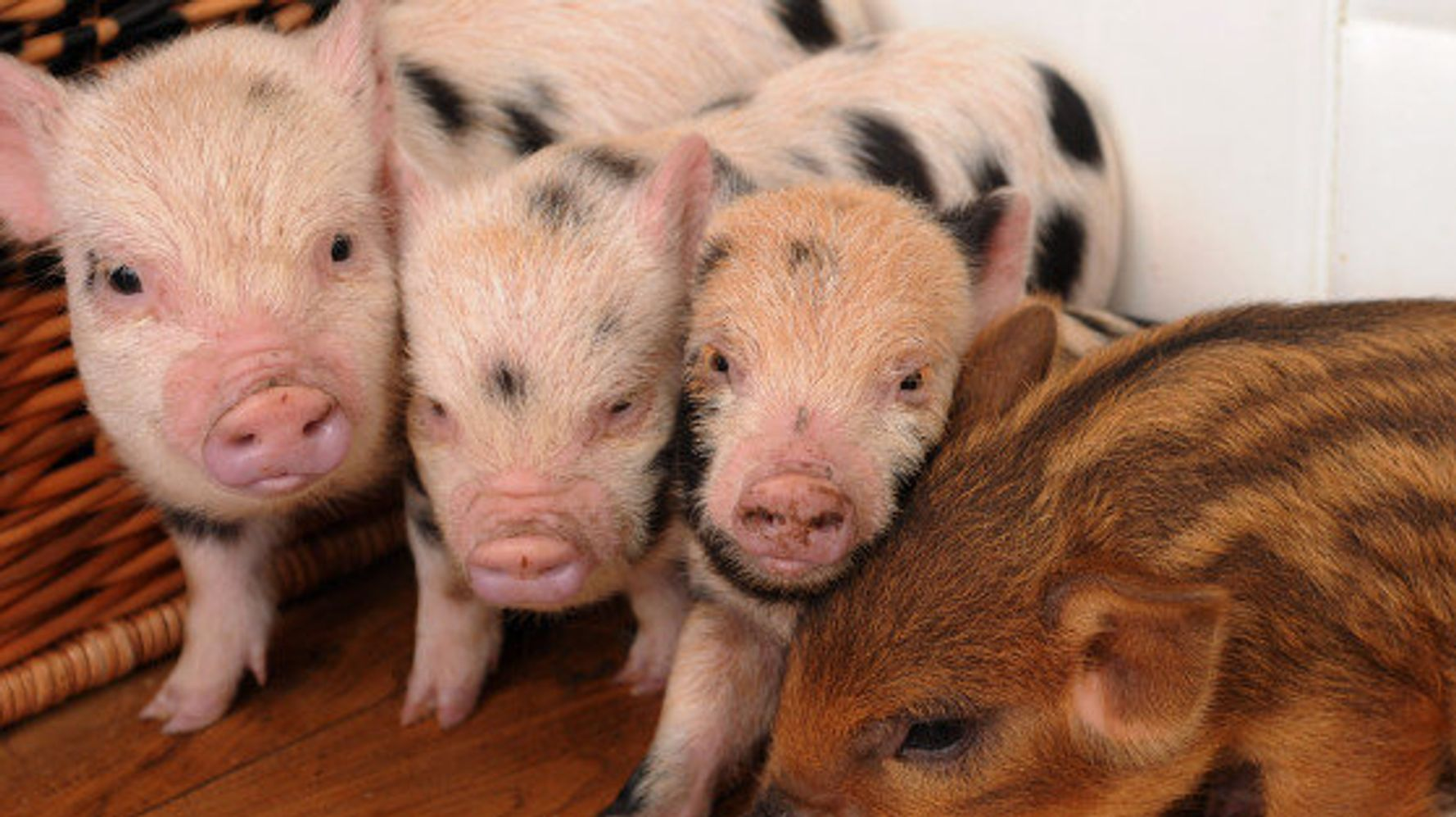 Surprisingly Cute And Unusual Pets And Where It S Legal To Own Them Huffpost Canada Life