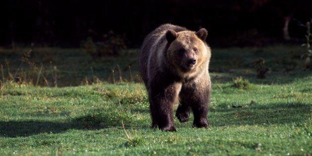 UNITED STATES - MARCH 03: Grizzly bear (Ursus arctos horribilis), Ursidae, Glacier National Park, Montana,...