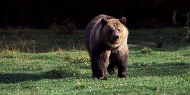 UNITED STATES - MARCH 03: Grizzly bear (Ursus arctos horribilis), Ursidae, Glacier National Park, Montana, United States of America. (Photo by DeAgostini/Getty Images)