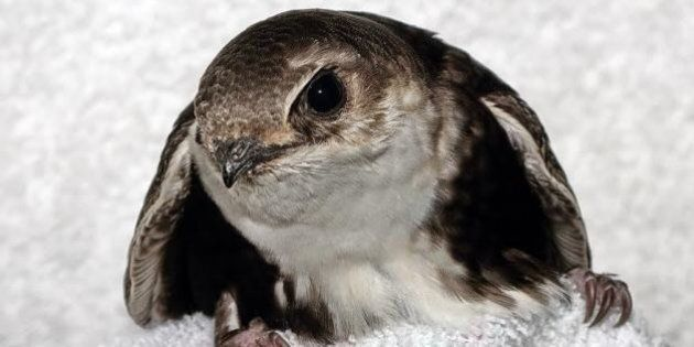 'Taylor' The Swift, Stranded Bird, Faces Road Trip To Rescue