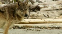 My Quest With Dad To Film Wild Wolves On B.C.