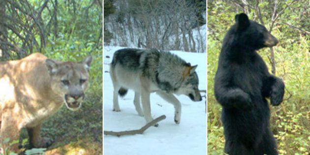 Alberta Wildlife Captured By Waterton Lakes Remote Cameras