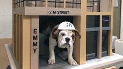 Communal Bulldog Makes Every Apartment Dweller's Dream Come