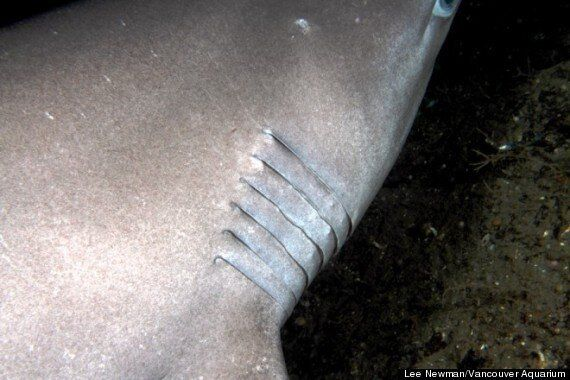 Sixgill Sharks Spotted In B.C's Howe Sound (PHOTOS,