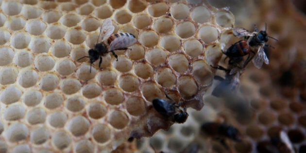 In this photo taken Monday, March 22, 2010, Scavenger bees hover around a dead hive at a bee farm east...