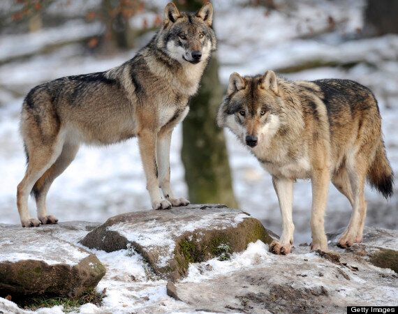 How Would Wolves Manage The Human