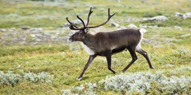 Un fr:Renne | renne , aussi appelé fr:Renne | caribou (Rangifer tarandus) dans la vallée du fr:Kebnekaise...