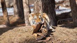 WATCH: Tiger Cubs At Calgary Zoo Turn