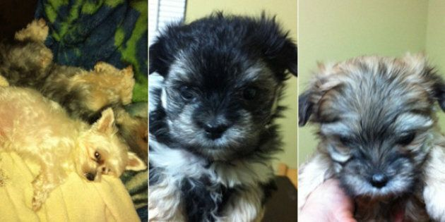 Abbotsford Puppies Stolen From