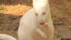 LOOK: Albino Wallaby's Unlikely