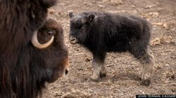 LOOK: This Baby Ox Will Make Your Heart