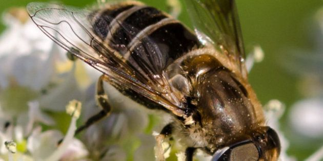 University Of Calgary Researcher Says Bees Do It Better If They're
