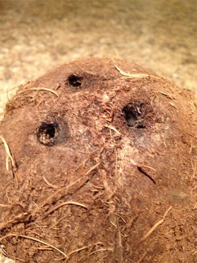 Coco-Nutty: Are Coconuts Good for