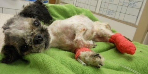 Abused Shih Tzu's Victoria Owner Douglas Pattison Fined, Banned From Owning