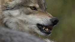 B.C.'s Torturous Wolf