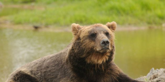 grizzly bear at rest by a