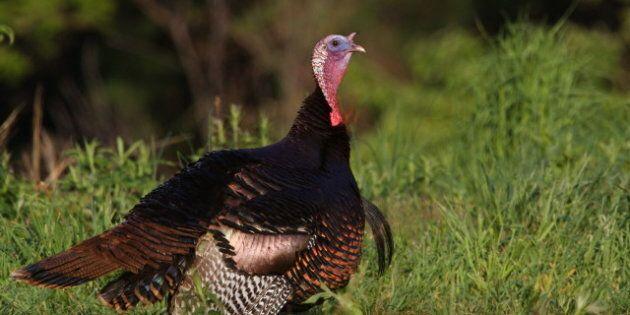 wild turkey mature bearded tom