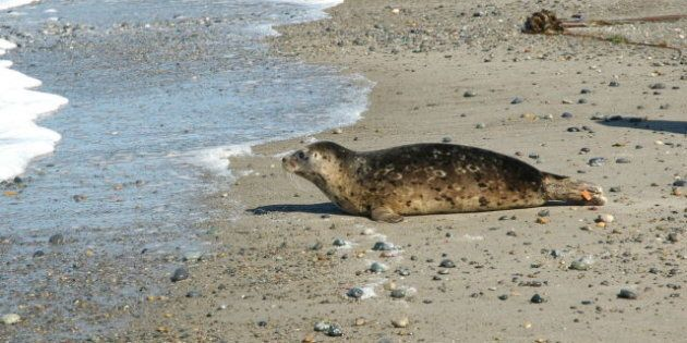 Seal Pups Rescued: Shadow, Midnight Pearl Released In Haida Gwaii