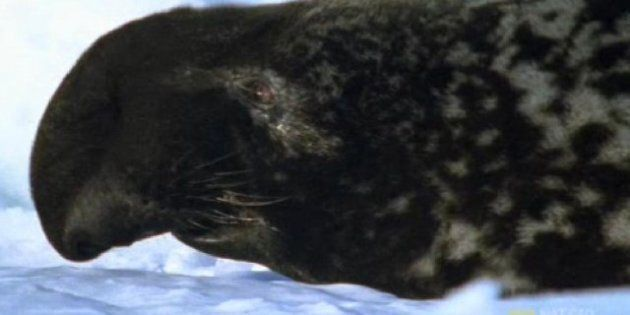 The Proposed Seal Cull is Unscientific and Just Plain