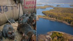 Why Haida Gwaii Rats Must