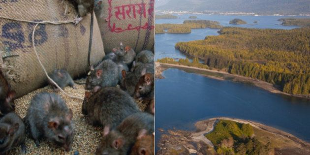 Rats Must Die On Haida Gwaii, From Above If