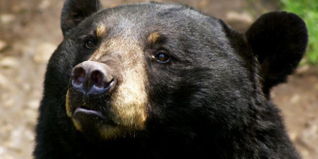 BC Bear Hunting Ban Declared By 10 First