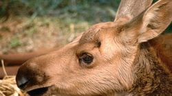 Lost Baby Moose Gets A Ride From The