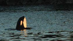 PHOTOS: Killer Whale